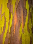 picture of eucalyptus trees  - Close up of the colorful bark and tree trunk of the Rainbow Eucalyptus tree at Keahua Arboretum in Kauai Hawaii USA - JPG