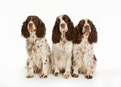 Three Longhaired Pointer Dogs