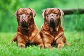 Two Brown Bordeaux Mastiffs