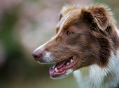Face Of Brown Border Collie