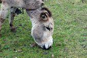 Brown Donkey Eating