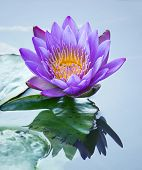 picture of ponds  - blue lotus flower in a pond at garden - JPG