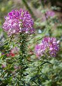 Spider Flower Or Cleome Spinosa Flower