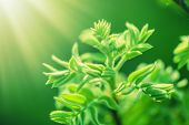 Fresh New Green Leaves Glowing In Sunlight