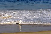 Seagull on Devill beach