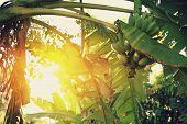 stock photo of banana tree  - banana tree with fruits in the blue sunny sky - JPG