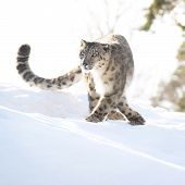 stock photo of snow-leopard  - Snow leopard in the winter looking focused - JPG