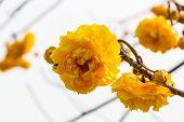 Silk Cotton Flower