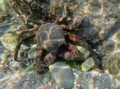 Kelp Crab Underwater