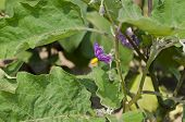 An Eggplant Flower Blooms In The Vegetable Garden