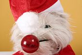 image of westie  - White cute puppy with big red nose - JPG