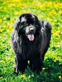 Black Newfoundland Dog Summer Meadow. Outdoor Full Length Portra