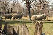 foto of herd  - Sheep herd grazing on the field - JPG
