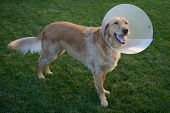 Golden Retriever Dog with Cone