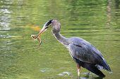 Water Bird Eating a Fish