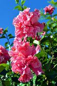 Hibiscus rosa-sinensis triple pink form