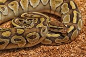 stock photo of python  - Ball Python  - JPG