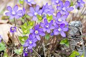 Blue wildflower Hepatica