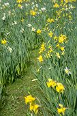 Daffodils in the flowerbed