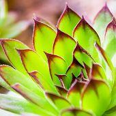 Green Sempervivum Plant Closeup