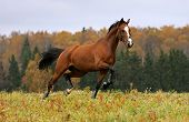 Running horse on autumn field