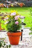 pic of cosmos flowers  - blooming of Cosmos Flowers in pot - JPG