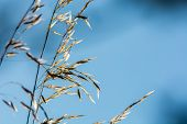 foto of fescue  - Festuca ovina with sky perfectly useable as backround - JPG