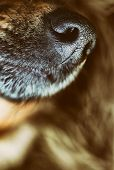 picture of wolf-dog  - Dog snout - JPG