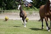 foto of foal  - a sporty brown foal standing next to a mare is offered for sale at auction - JPG