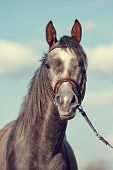 image of thoroughbred  - Portrait of a sports thoroughbred horse in a bridle - JPG