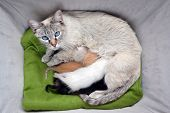 stock photo of siamese  - White lynx point siamese cat nursing litter of different colored kittens in a cozy basket - JPG