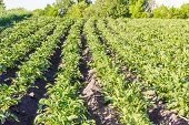 picture of potato-field  - Field with rows of planted young potatoes - JPG