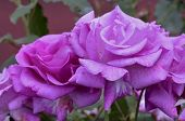 picture of purple rose  - Purple roses in the garden - JPG