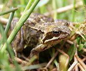 stock photo of amphibious  - Common European Frog Latin name Rana Temporaria photographed in the wild - JPG