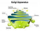 stock photo of cytoplasm  - Golgi apparatus - JPG