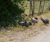 stock photo of guinea fowl  - Guineafowls on a farm near Vrana in Croatia  - JPG