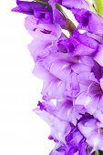 pic of gladiolus  - border  of  fresh gladiolus flowers close up isolated on white background - JPG