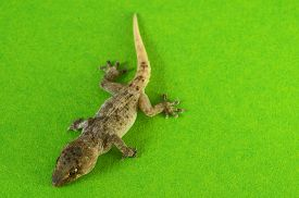 picture of hemidactylus  - Small Gray Gecko Lizard on a Colored Background - JPG