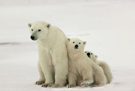 picture of bear-cub  - Polar she - JPG