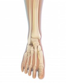 stock photo of human toe  - Human Foot Anatomy Illustration  - JPG