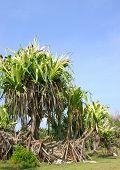 Tropical Giants