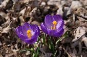 Harbingers Of Spring