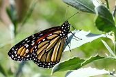 Monarch Butterfly - 4