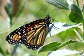Monarch Butterfly - 4