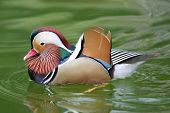 Beautiful And Colourful Mandarin Duck