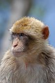 A Portait Of A Monkey In Gibraltar