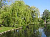 Public Garden Weeping Willow
