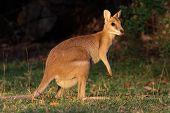 Wallaby ágil, Austrália