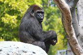 Gorilla on rock