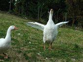 Singing Geese